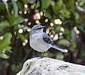 Tropical Mockingbird 2 (4355546516).jpg