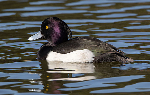 Tufted duck in Sakai, Osaka, February 2016.jpg