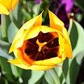 Tulipán (Tulipa), Jardín Botánico, Múnich, Alemania 2012-04-21, DD 03.JPG
