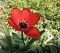 Tulip hybrid in Hesse.jpg
