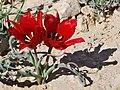 Tulipa systola 2.jpg