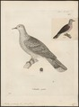 Turtur picturatus - 1700-1880 - Print - Iconographia Zoologica - Special Collections University of Amsterdam - UBA01 IZ15600395.tif