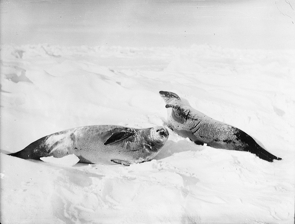 Two crab-eater seals on the ice, Weddell Sea (4792722735)