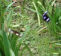 Two great eggflies (Hypolimnas bolina) - Mindanao, Philippines 2.jpg