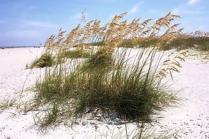 Sea Oats on Tybee Island Beach.