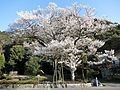 Ukai zakura, Gifu, 2016.jpg