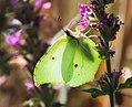 Unidentified Lepidoptera - Galicia - 01.jpg