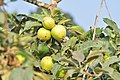 Union Bay Natural Area - apples 01.jpg