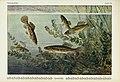 Unsere Süßwasserfische (Tafel 30) (6102602161).jpg