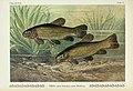 Unsere Süßwasserfische (Tafel 35) (6102603307).jpg