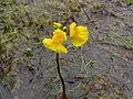 Utricularia vulgaris inflorescens (02).jpg