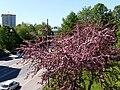 Vaaleanpunainen puu Helsinginkatu 30 touko 2009.jpg