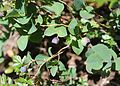 Vaccinium ovalifolium (Mount Kasa).jpg