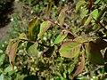 Vaccinium parvifolium 03171.JPG