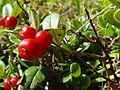 Vaccinium vitis-idaea (4377422066).jpg