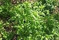 Valeriana officinalis 3zz.jpg