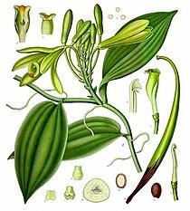 Vanilla planifolia - Köhler–s Medizinal-Pflanzen-278.jpg