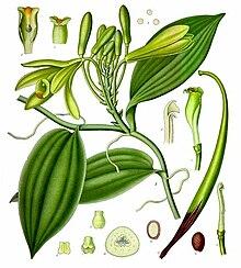 planter une liane de vanille