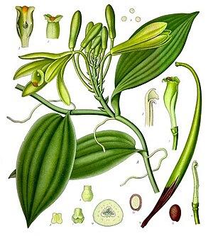 Vanilla planifolia - Vanilla planifolia 1887 illustration from Köhler's Medicinal Plants