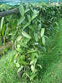 Vanilla plantation in shader dsc01168.jpg