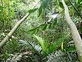 Vegetación de la Reserva de la Biosfera La Amistad Panama (RBLAP) 18.JPG