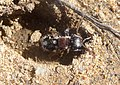 Velvet Ant. Mutillidae. Ronisia ghilliani- Flickr - gailhampshire.jpg