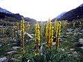 Verbascum-densiflorum Schley.jpg