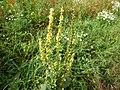 Verbascum nigrum Eure1.jpg