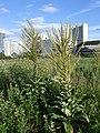 Verbascum speciosum sl 1.jpg