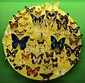 Verona, museo civico di storia naturale, esposizione di insetti, lepidotteri 02.jpg