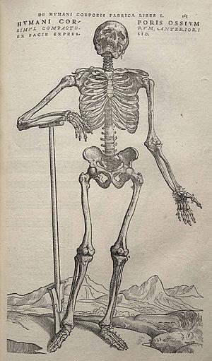De humani corporis fabrica - Image from Andreas Vesalius' De humani corporis fabrica (1543), page 163.