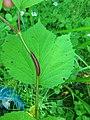 Viburnum edule (14359634639).jpg