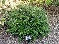 Viburnum obovatum 'Mrs Schiller's Delight' - J. C. Raulston Arboretum - DSC06252.JPG