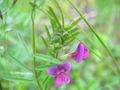 Vicia sativa ssp nigra.jpeg