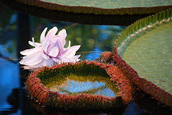 Victoria amazonica flower and two pads.JPG