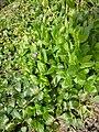 Vinca major ssp. hirsuta (Apocynaceae) plant.jpg