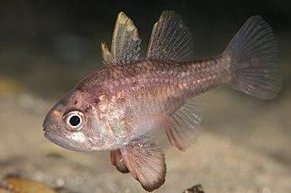 <i>Vincentia</i> (fish) genus of cardinalfishes