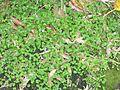 Viola banksii habit2 - Flickr - Macleay Grass Man.jpg