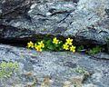 Viola biflora12072002vuegnrle.JPG