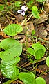 Viola palustris.JPG