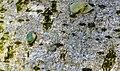 Viscum album seed on Lime tree bark, Chapeltoun, Ayrshire.jpg