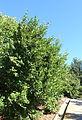 Visnea mocanera - Jardín Botánico de Barcelona - Barcelona, Spain - DSC09158.JPG