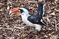 Von der Decken's Hornbill at Marwell Wildlife.jpg