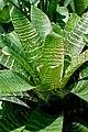 Vriesea hieroglyphica (6225126171).jpg