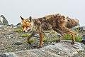 Vulpes vulpes Mallnitz 04.jpg