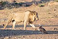 Vulture and lion (45925525662).jpg