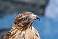 WR - Broadwing Hawk 2 (5761389277).jpg