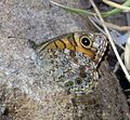 Wall Brown. Lasiommata megera - Flickr - gailhampshire (1).jpg