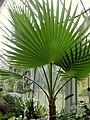 Washingtonia filifera (116).JPG