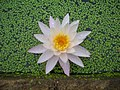 Water lily (3896245335).jpg